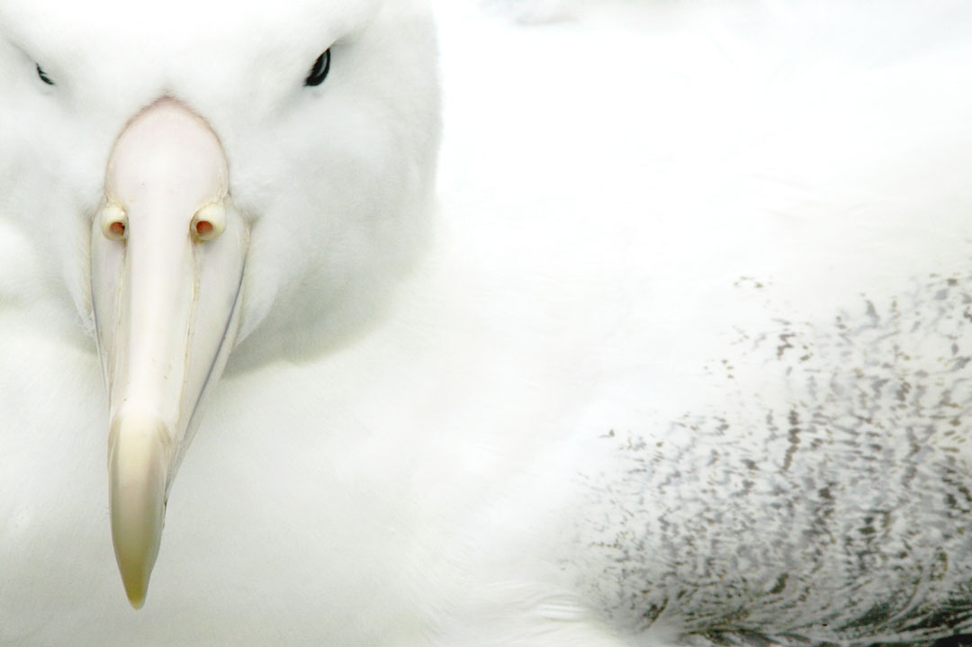 Campbell Island - Royal Albatross