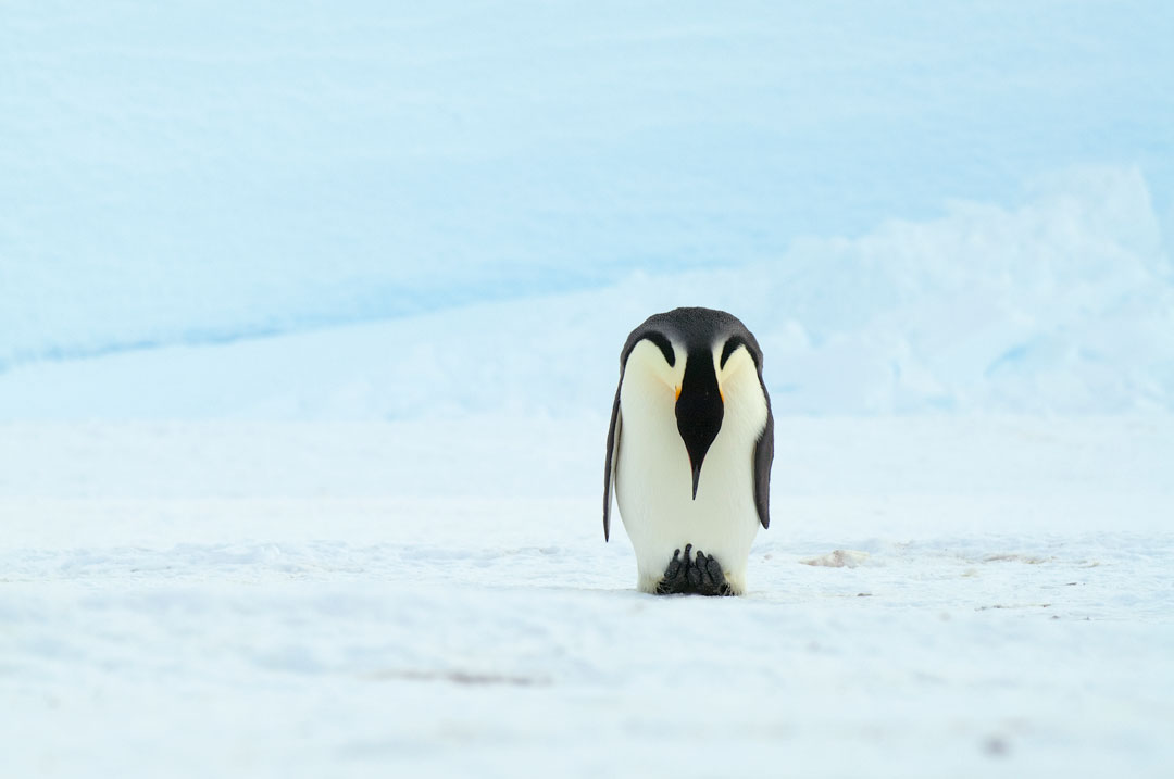 Snow Hill Island - Emperor Penguin