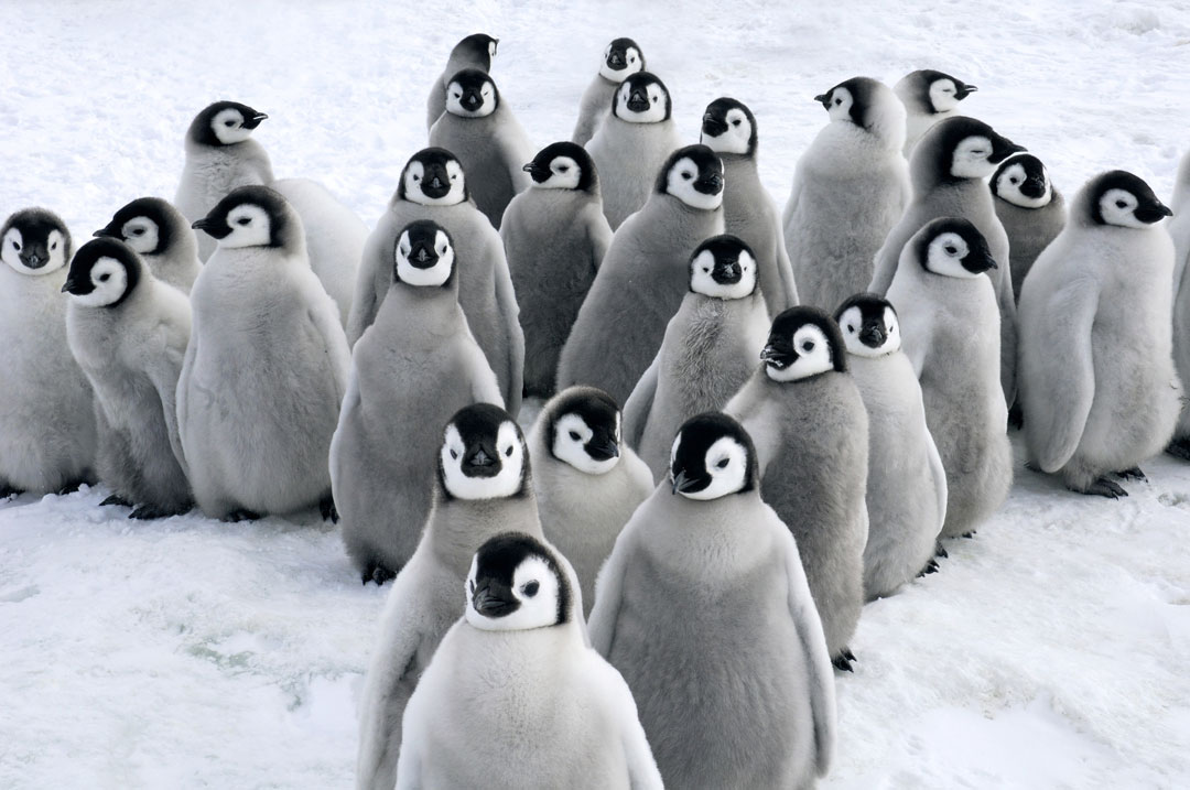 Snow Hill Island - Emperor Penguins