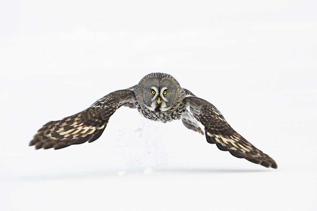 Finland - Great Grey Owl