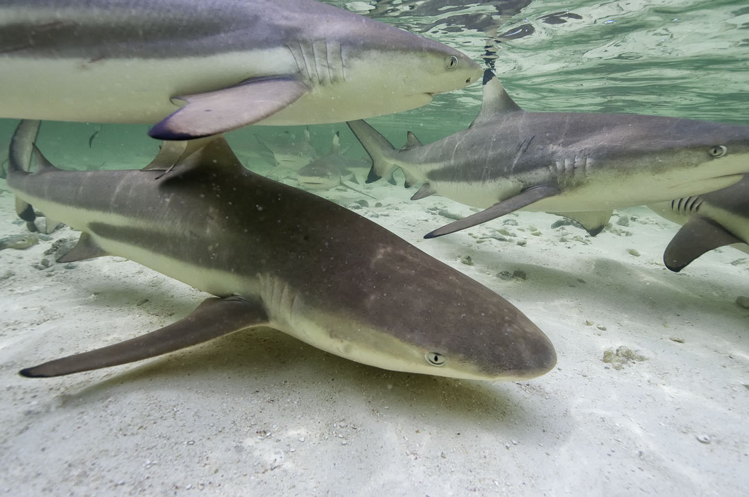 Aldabra - Blacktip Reef Sharks