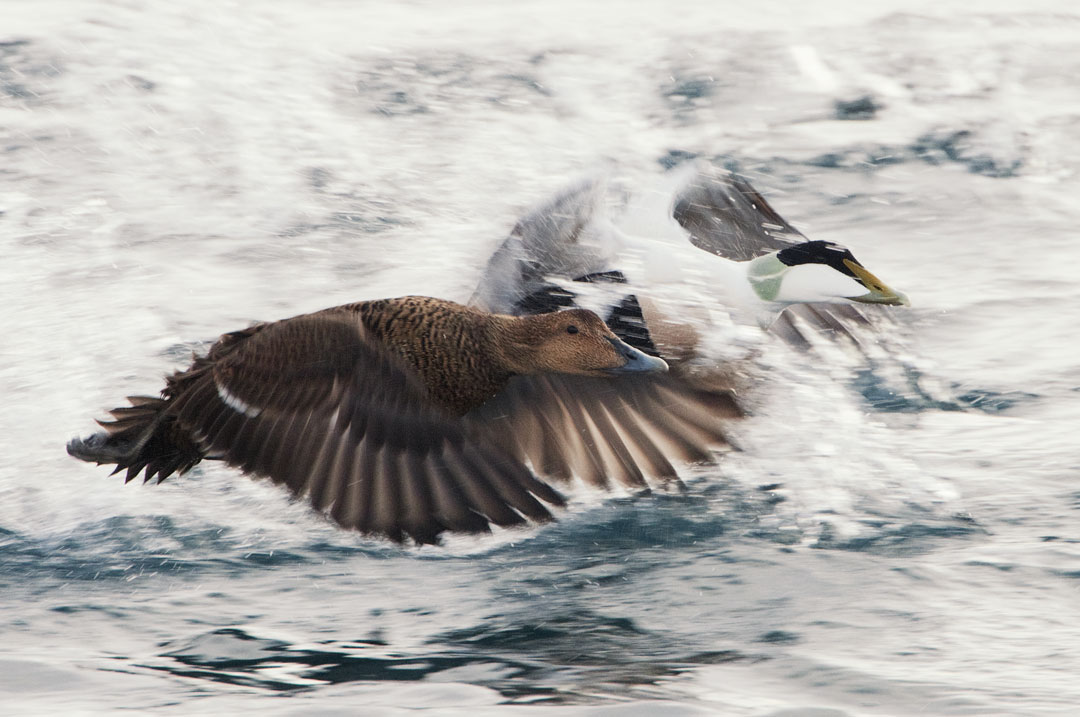 Norway - Common Eider