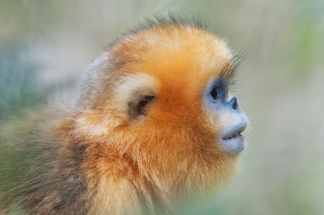 China - Golden snub-nosed monkey
